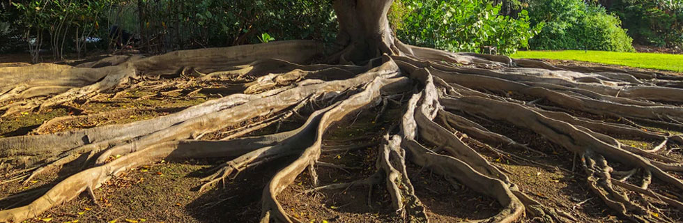 Roots seek out a sewer line